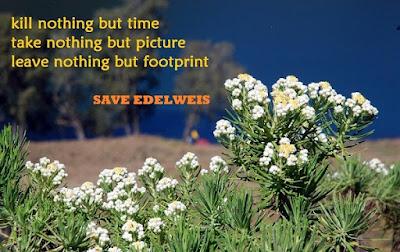 Edelweis gunung merbabu