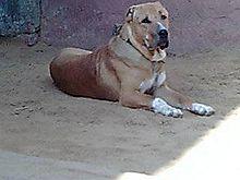 Bully Kutta-dog-dog breeds-pet