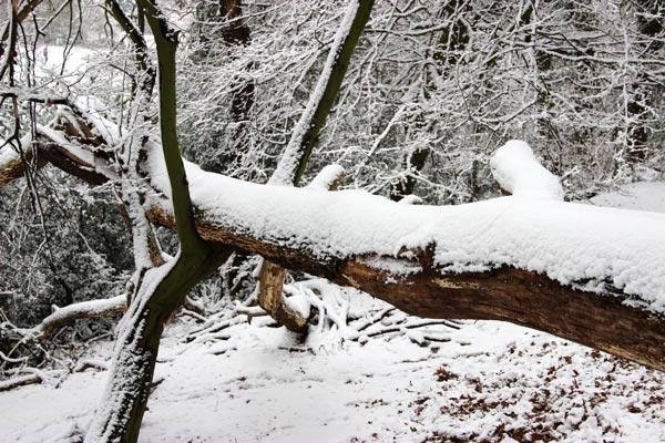 Umgestürzter Baum mit Schnee bedeckt