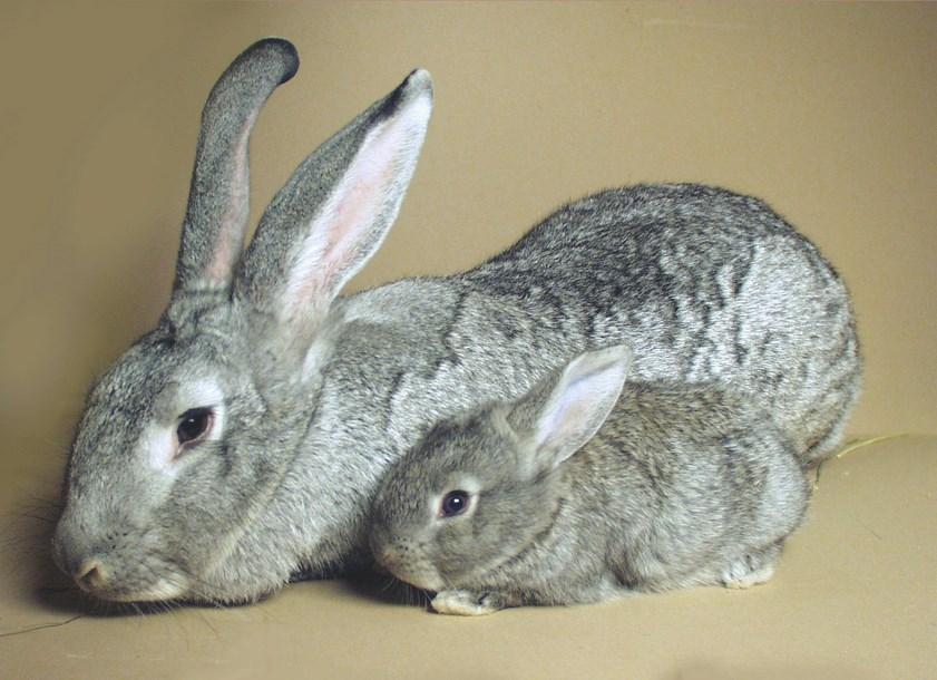 Ternak Kelinci telinga panhang bersih dan juga suka sekali karena lucu