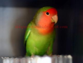 5 Jenis Lovebird Memiliki Suara Kicau Gacor