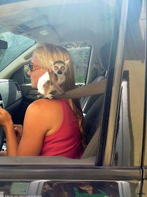 Lustige blonde Frau - Auto fahren mit Affen