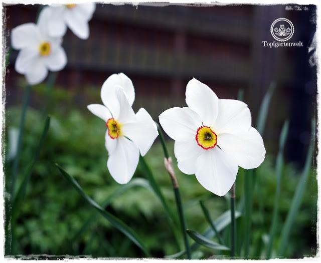 Gartenblog Topfgartenwelt Ostern: Dichternarzissen