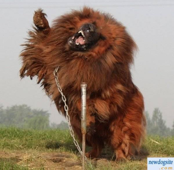 The Tibetan Mastiff is a massive, giant dog with sturdy bone structure ...
