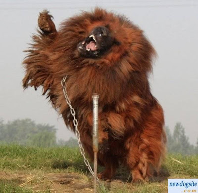 Cute Dogs|Pets: Biggest Tibetan Mastiff in the World-information and Pictures