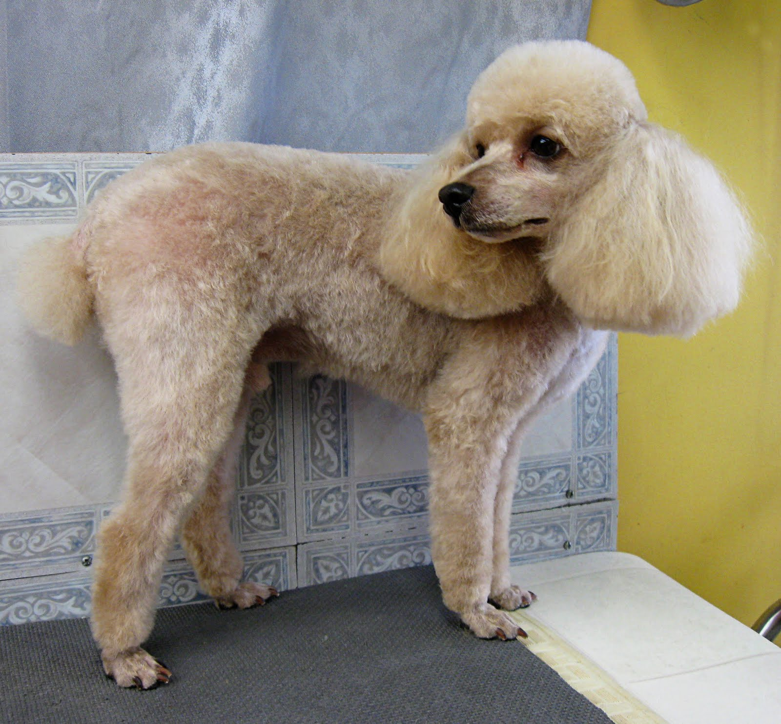 Pet Grooming The Good The Bad Amp The Furry No Poodle Look