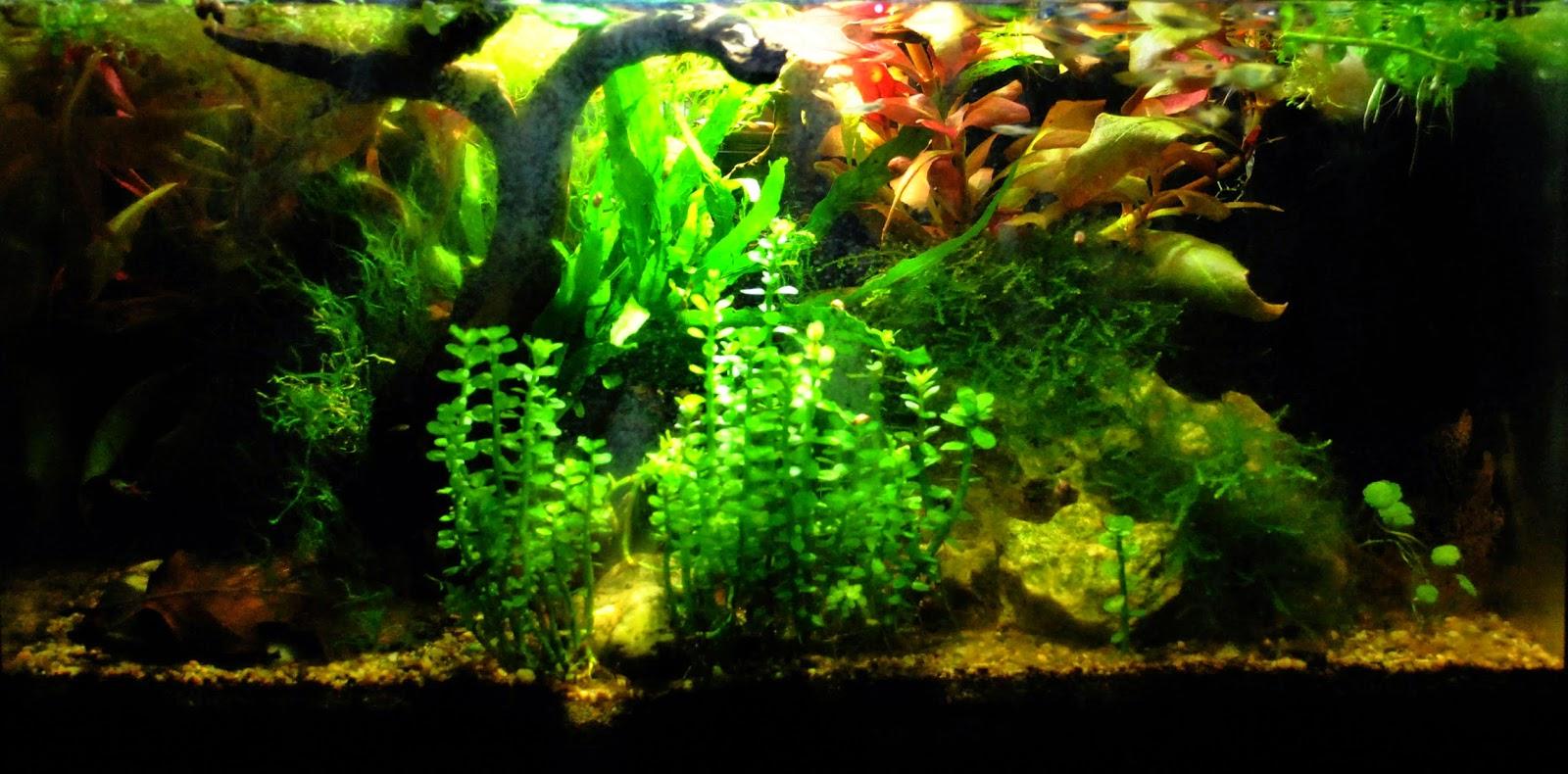 aquariums poissons et plantes d 39 eau douce entretiens des. Black Bedroom Furniture Sets. Home Design Ideas