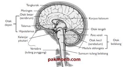 Fungsi otak otak depan, otak tengah, otak belakang, dan pons varoli