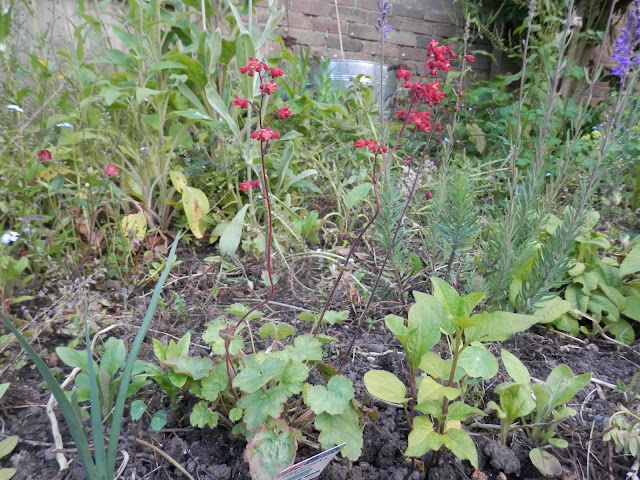 Diary of a permaculture (ish) garden, June 2018. From UK garden blogger secondhandsusie.blogspot.com #gardenblog #gardenblogger #ukpermaculture #organicgarden #suburbanpermaculture