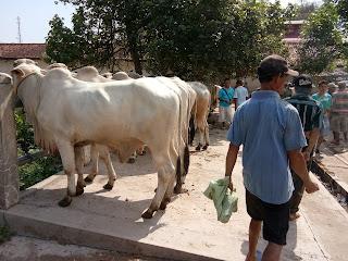Praktikum di Pasar Hewan tradisional peternakan unwiku