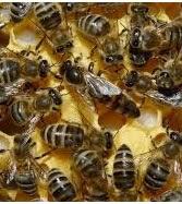 50 mil abejas