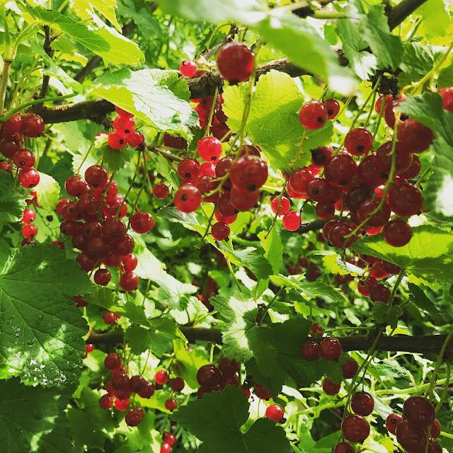 es ist Sommer im Garten, die Johannisbeeren sind reif (c)  by Joachim Wenk
