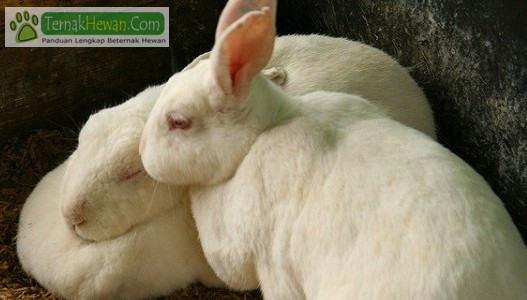 Harga Kelinci Pedaging Saat ini dan Cara Budidaya Ternak Yang Benar