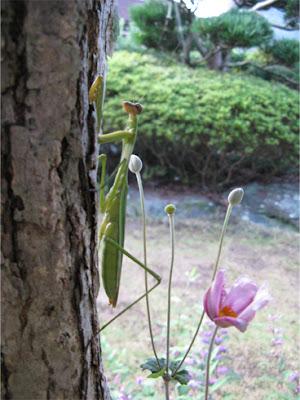 カマキリと秋明菊 [Mantis and anemone hupehensis var. japonica]