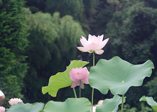 Lotus ハスの花