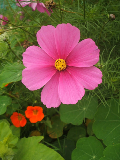 bright pink cosmos flower