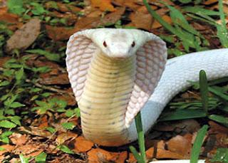 Google Wild: Poison Snakes