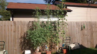 Kenaf Plants Towering over a 6 foot tall standard wood fence