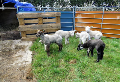 Lambs 2 weeks old on the HenSafe smallholding