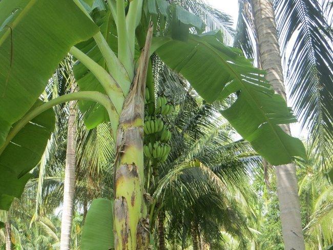 на банановом дереве зеленые бананы