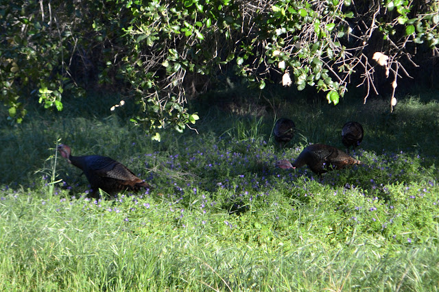 four wild turkey