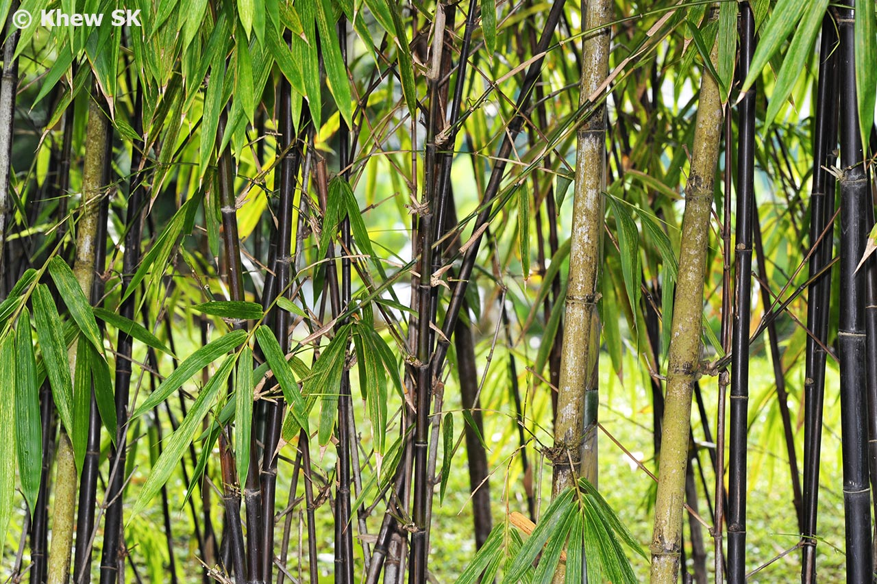 Butterflies Of Singapore The Bamboo Feeders Part 1