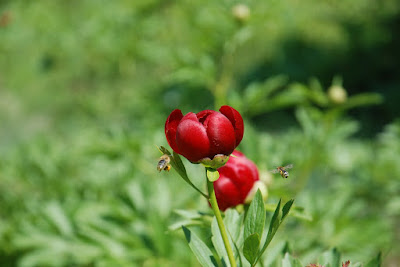 Remedio homeopático: Paeonia officinalis
