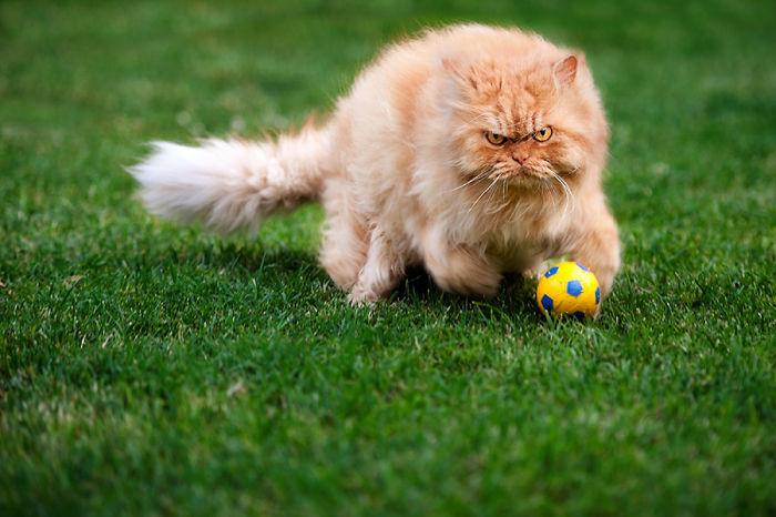garfi-evil-grumpy-persian-cat-14