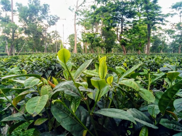 Tea estates of Dibrugarh where you find the best Assam tea