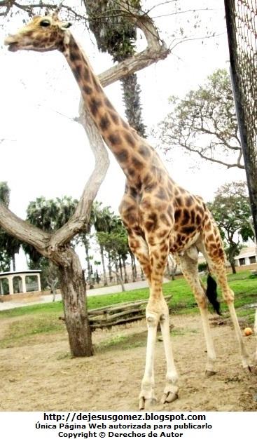 Foto de la jirafa parado en el Parque de las Leyendas. Foto de jirafa de Jesus Gómez
