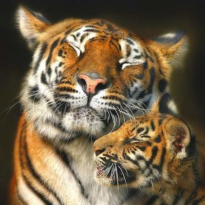 foto tierna mama tigresa y cachorro