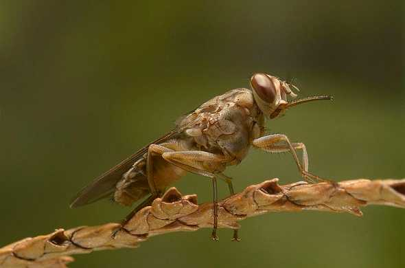 tsetse-fly-ذبابة-تسي-تسي-لاسنة