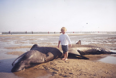 Hatteras, NC, beached basking shark,