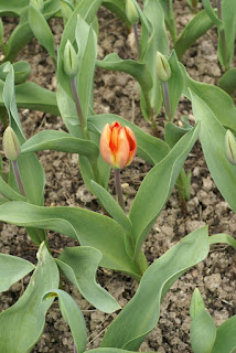 Tulipe Darwin - Lighting-sun