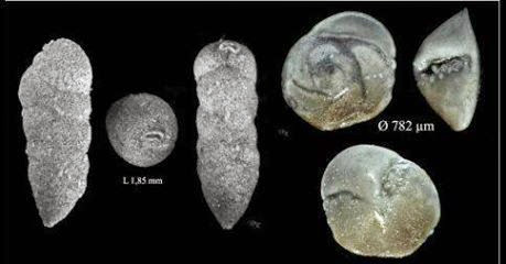 Foraminifera  - the blog of : Foraminifera of Rupelian age