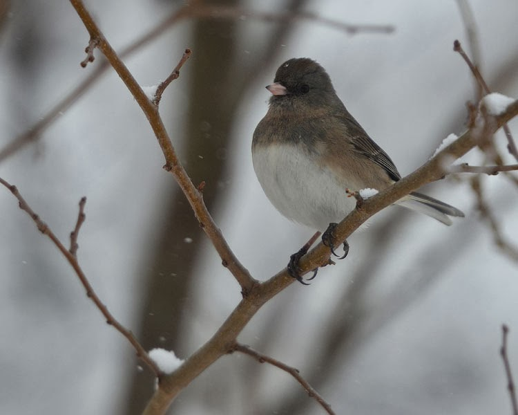 A Dark-eyed Junco sits on a branch in a tree as snow falls all around.