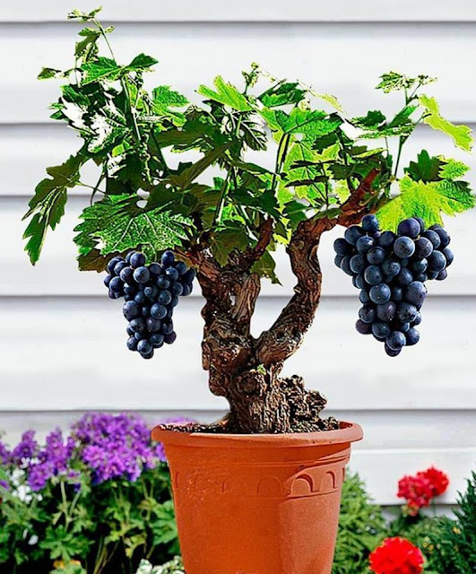 Siempre Sera Primavera Pequenos Arboles Frutales - Arboles-pequeos