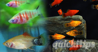 Interesting information about Platy aquarium fish