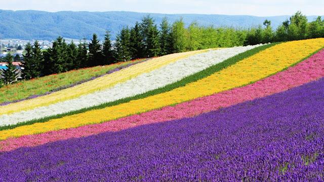 cánh đồng hoa oải hương đẹp nhất thế giới 31