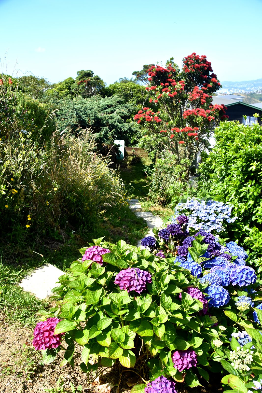 Down the garden path at back of house. Mischa's hydrangea plantings also going very well.