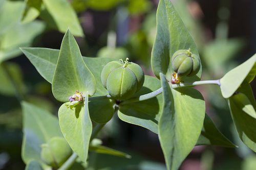 Hoa và quả Tục tùy tử - Euphorbia lathyris - Nguyên liệu làm thuốc Nhuận Tràng và Tẩy
