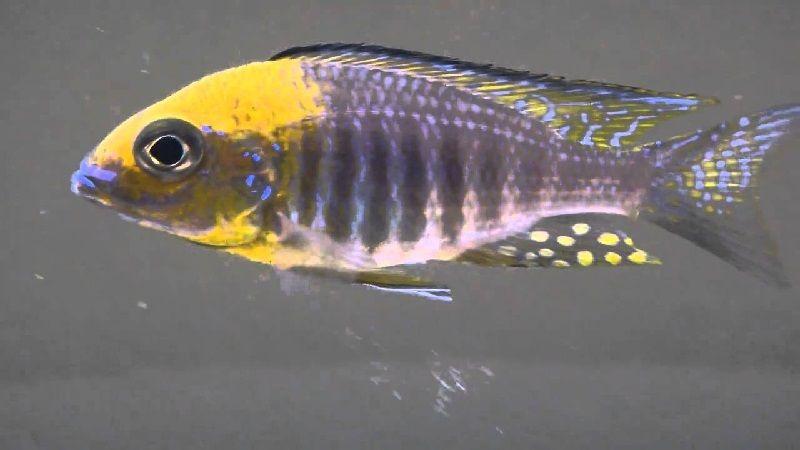 Gambar jenis jenis ikan cichlid ( Malawi Cichlids ) - Pola warna chitande