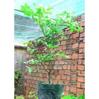 Đăng tin rao vặt: Trồng nho thân gỗ mang lại những lợi ích gì? Cay-Nho-than-go-1-nam-tuoi
