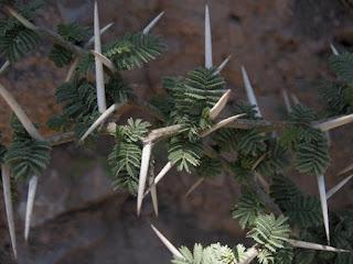 Planta Mágica: Espino
