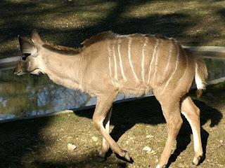 Grand koudou - Tragelaphus strepsiceros