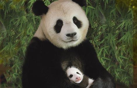 wallpapers-hub: giant panda & it's baby