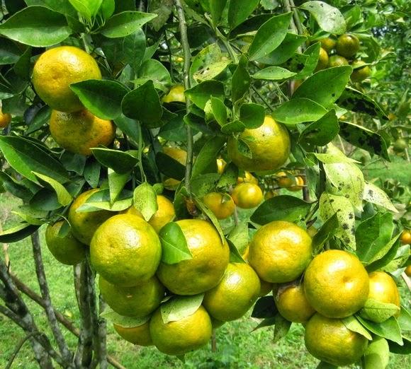 jeruk siam manis maknyus