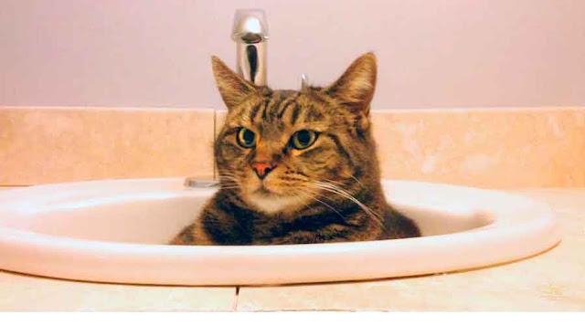 Cara Menghilangkan Kutu Kucing Dengan Shampo Anti Kutu Di Petshop