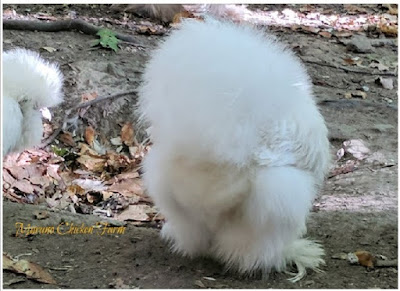 all about silkie chickens