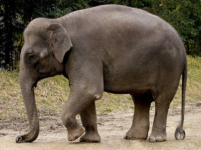 Perbedaan Gajah Asia Dengan Gajah Afrika